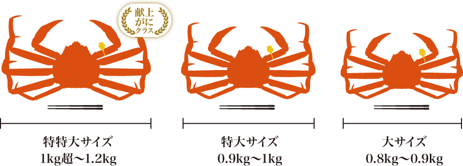 越前蟹(えちぜんがに)のサイズ
