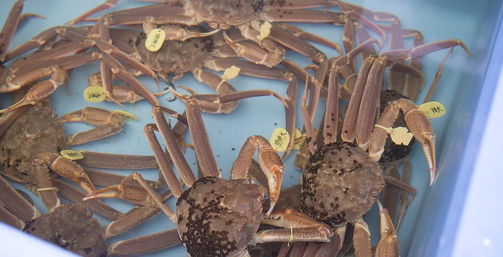 越前港での越前蟹の水揚げの写真